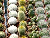 Cactuses. Colorful small cactuses on the market for sale Stock Photography