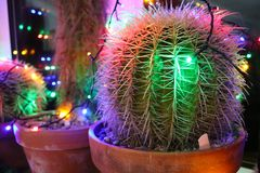 Cacti decorated with Christmas fairy lights. Cacti decorated for Christmas with colored fairy lights stock photography
