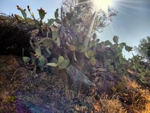 Cacti in the desert Royalty Free Stock Image