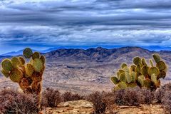 Cacti in the Desert at Joshua Tree. Amazing sky with Prickly Peak cacti in the foreground Stock Photo