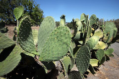 Cacti Royalty Free Stock Photo