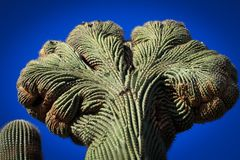 Cacti of a different shape Stock Photography