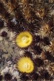 Cacti Echinocactus grusonii found in Fuerteventura in the Canary-Islands Spain. Cacti Echinocactus grusonii beginning to bloom found in Fuerteventura in the stock photos