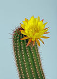 Cacti Flower Stock Images