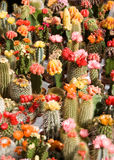 Cacti on flower market Royalty Free Stock Photo