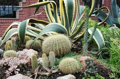Cacti in the flowerbed Stock Image