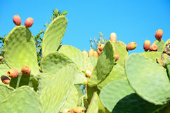 Cacti with fruit closeup. On the blue sky background Royalty Free Stock Image
