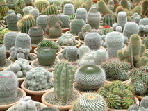 Cacti Galore. Image of potted cacti Royalty Free Stock Photography