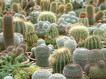 Cacti Galore. Image of potted cacti Royalty Free Stock Photos