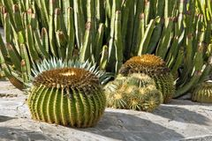 Cacti in Gran Canaria royalty free stock photography