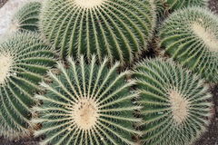 Cacti group Royalty Free Stock Photography