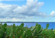 Cacti growing on the shores of the Indian ocean. Africa, Mozambi Royalty Free Stock Images