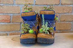 Cacti growing in work boots Stock Photos