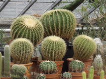 Cacti. Huge cacti greenhouse in the soft light Stock Photography