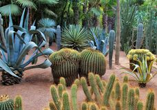 Free Cacti In Botanical Garden Jardin Majorelle In Marrakesh, Morocco Stock Images - 185777744