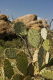 Cacti In The Sonoran Desert Royalty Free Stock Images