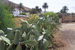 Cacti on the island of Fuerteventura Royalty Free Stock Photo