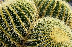 Cacti royalty free stock photo