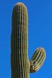 Cacti Royalty Free Stock Photos