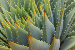 Cacti leaves Stock Images