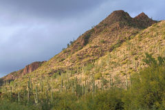 Cacti on a Mountainside. Stormy afternoon in the Sonoran Desert. A mountainside covered in Saguaro Cacti near Phoenix, Arizona Royalty Free Stock Photos