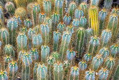 Cacti nursery Royalty Free Stock Photography