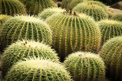 Cacti. This is a photo of some kinds of cacti, was taken in Xiamen botanical garden ,China Stock Image