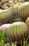 Cacti plants Royalty Free Stock Photography