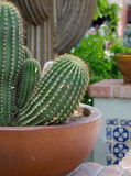 Cacti in pot decorating a street in Oldtown, Scottsdale Royalty Free Stock Images