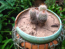 Cacti in pot Stock Photography