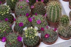 Cacti pot plants Stock Photos