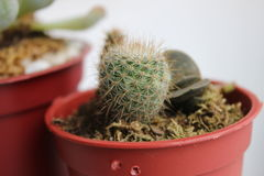 Cacti in a Pot Royalty Free Stock Image