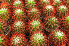 Cacti in pots Royalty Free Stock Images