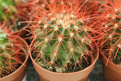 Cacti in pots Stock Photos