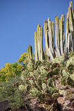 Cacti in Tenerife Royalty Free Stock Photography