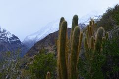 Cacti in Río Blanco National Reserve, central Chile, a high biodiversity valley in Los Andes. The natural reserve of Rio Blanco is located in central Chile stock photos