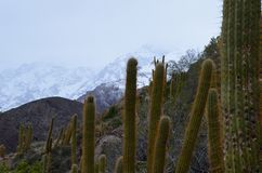 Cacti in Río Blanco National Reserve, central Chile, a high biodiversity valley in Los Andes. The natural reserve of Rio Blanco is located in central Chile royalty free stock images