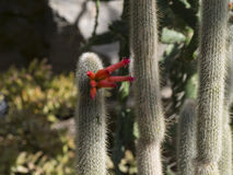 Cacti with red flower Royalty Free Stock Photos