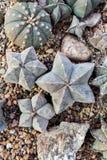 Cacti cactus, top view, flat  lay. Royalty Free Stock Image