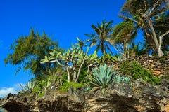 Cacti savannas of Kenya. The flora of the African savannah Kenya Stock Photography