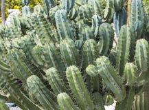 Cacti Stock Image