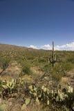 Cacti in the Sonoran Desert. Fields of cacti in the Sonoran Desert stock photo