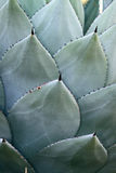 Cacti Spikes. Close up of agave cactus spines Stock Photo