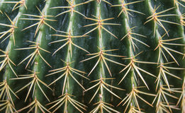 Cacti Spines Stock Images