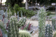Cacti Spinous - Plants Stock Photo
