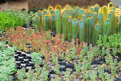 Cacti and succulent nursery Royalty Free Stock Image
