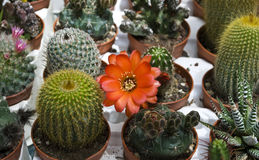 Cacti and succulents Royalty Free Stock Image
