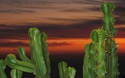 Cacti during sunset Royalty Free Stock Photos