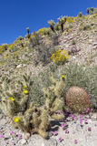 Cacti and Wildflowers blooming in Anza-Borrego State Park, Calif Stock Photos