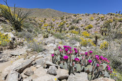 Cacti and Wildflowers blooming in Anza-Borrego State Park, Calif Stock Image